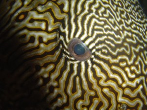 mappa pufferfish eye
